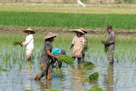 Farm hands working in a flooded field